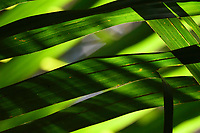 """Rainforest palm leaves, Raja Ampat, Western Papua, Indonesian controlled New Guinea, on the Science et Images """"Expedition Papua, in the footsteps of Wallace"""", by Iris Foundation"""