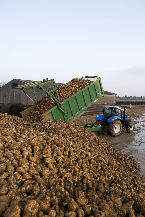Tractor and trailer tipping sugar beet into a heap in a farmyard..