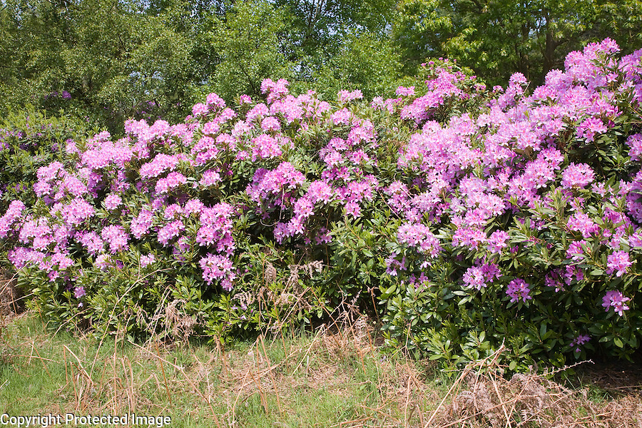 Rhododendron bushes with purple flowers, Suffolk, England