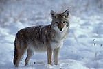 Portrait of a Coyote standing in snow in Yellowstone National Park, WY