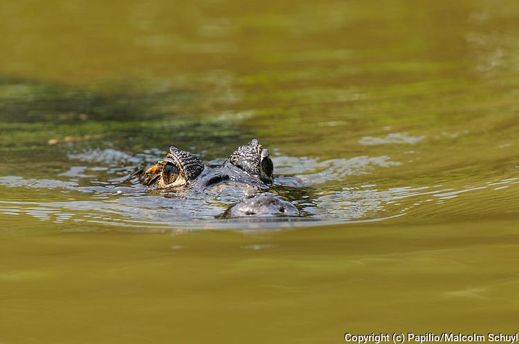 Paraguayan Caiman (Caiman yacare) swimming on surface of water, Pantanal, Brazil.