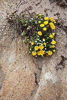 Wildflowers cling to the bluff along the beach near Pigeon Point Lighthouse along the California coast.