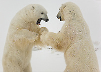 2 male polar bears play-spar with each other at Polar Bear Point, Wapusk National Park, Manitoba, Canada, November 2006