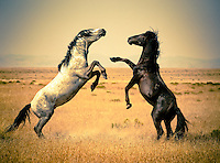 Wild mustangs (horses) dueling in the Utah desert