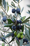 Olive harvest in Sonoma, CA by Frank Balthis