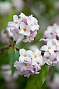 Fragrant pink and white flowers of the evergreen shrub Daphne bholua 'Jacqueline Postill', late February.