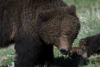 Grizzly Mom, Yellowstone