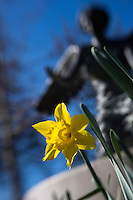 Daffodil detail with Chapel angel.<br />  (photo by Megan Bean / &copy; Mississippi State University)