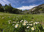 Idaho,  central, Custer County, Mackay. Wildflowers in the Lost River Range in late spring.