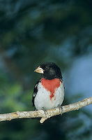 Rose-breasted Grosbeak, Pheucticus ludovicianus,male, South Padre Island, Texas, USA