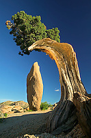 Rock pinnacle framed by juniper tree. Joshua Tree National Park, California