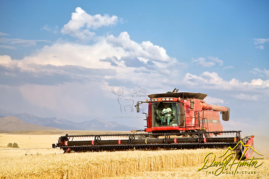 Grain Harvest, Ririe, Idaho,