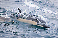 short-beaked common dolphin, Delphinus delphis, mother, calf, wake-riding, San Diego, California, USA, Pacific Ocean