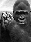 Gorillas forest of Africa, Gorillas, primates, disambiguation, herbivores, forest of Africa, gorillini, primatologists, Animal, wild animals, domestic animals,  Fine Art Photography, Ron Bennett Photography ©, Fine Art Photography by Ron Bennett, Fine Art, Fine Art photography, Art Photography, Copyright RonBennettPhotography.com ©