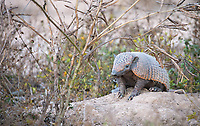 The six-banded, or yellow armadillo, was one of three armadillo species I saw on this trip.