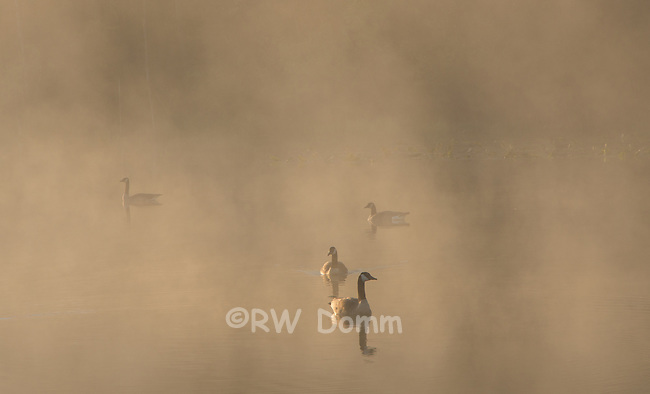 Canada Geese in morning mist