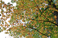Stock photo: Maple tree canopy in autumn in smoky mountains national park.