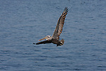 brown pelican in flight over Monterey Bay