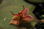 Lepanthes trichodactyla.Orchid