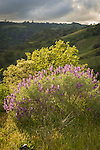 Bush lupine with oak and clouds, spring, Monterey County, Calif.
