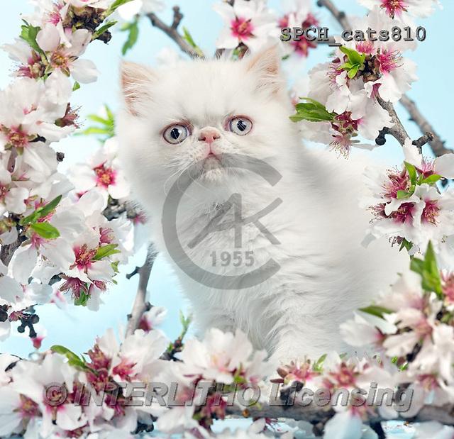 Xavier, ANIMALS, REALISTISCHE TIERE, ANIMALES REALISTICOS, cats, photos+++++,SPCHCATS810,#A#