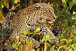 Leopard laying in a tree in Tarangire National Park in Tanzania.