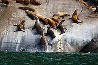 Steller's sea lion rookery. Here one animal is jumping out of the water onto the rock.