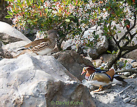 0310-1015  Pair of Mandarin Ducks (Female Upper Left, Drake Lower Right), Aix galericulata  © David Kuhn/Dwight Kuhn Photography.