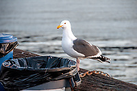 A seagull perched atop a trash can on the pier in Santa Barbara Harbor one January morning, California.