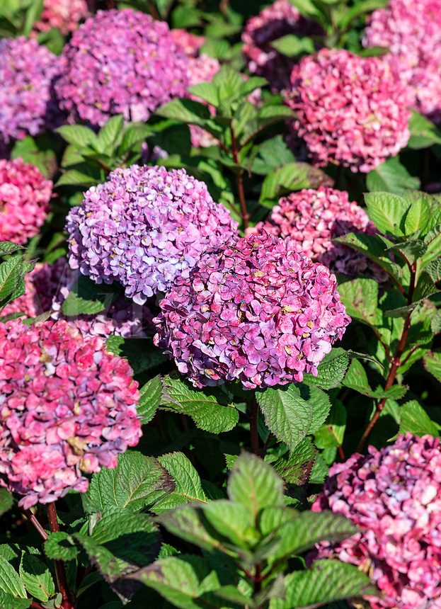 Pink hydrangea bush in full bloom.