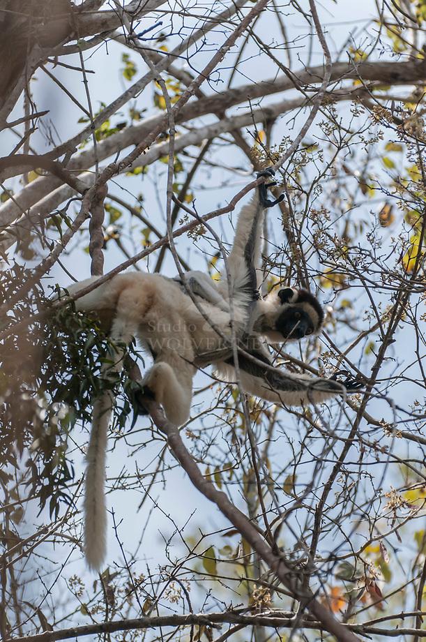 Verreaux«s sifaka (Propithecus verreauxi), Madagascar