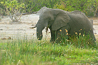 African Bull Elephant grazing  in the Okavango Delta, Botswana Africa.  Note the broken tusk.
