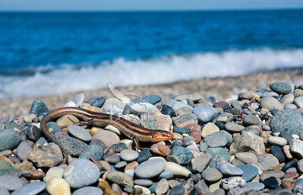 Five-Lined Skink (Eumeces fasciatus). Male has red-orange head in breeding season. Only lizard found in Eastern Canada (in Southern Ontario). Along Lakes Erie, Huron and Ontario skinks may be found amid shoreline debris and vegetation bordering sandy beaches. This skink photographed in May along Lake Erie in Point Pelee National Park, Ontario. Canada.