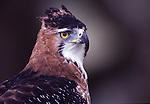 Ornate Hawk Eagle ( spizaetus ornatus)