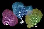 X-ray image of three sea fans (purple blue yellow on black) by Jim Wehtje, specialist in x-ray art and design images.
