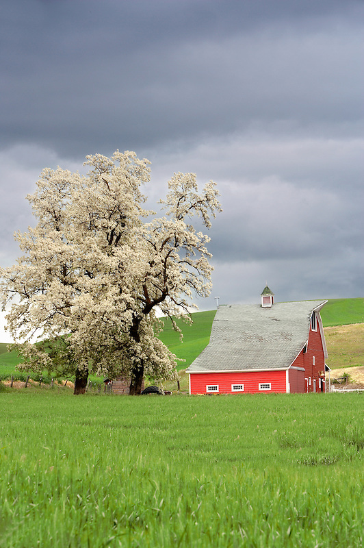Barn with blossoming tree and wheat field. Near Colfax, Washington