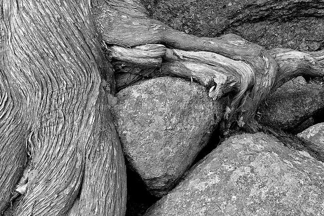 Cedar Root and Rock along Bubble Pond Path at Acadia N.P.