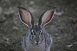 jackrabbit ears
