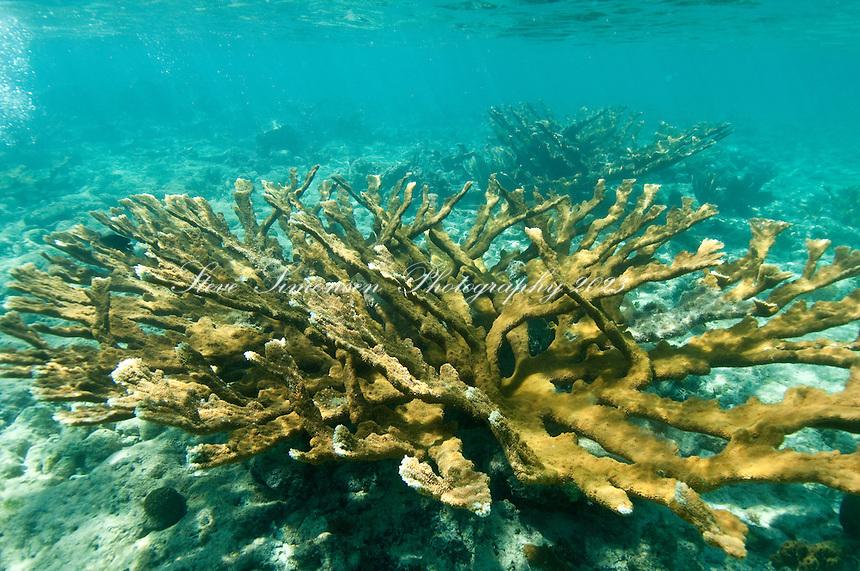 Elkhorn Coral (Acropora palmata)<br /> Leinster Bay, St John.<br /> Virgin Islands National Park