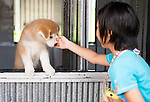 Sara Horie  plays with a 2-month old puppy Akita Inu that was bred in Odate City, Akita Prefecture Japan. Photographer: Rob Gilhooly