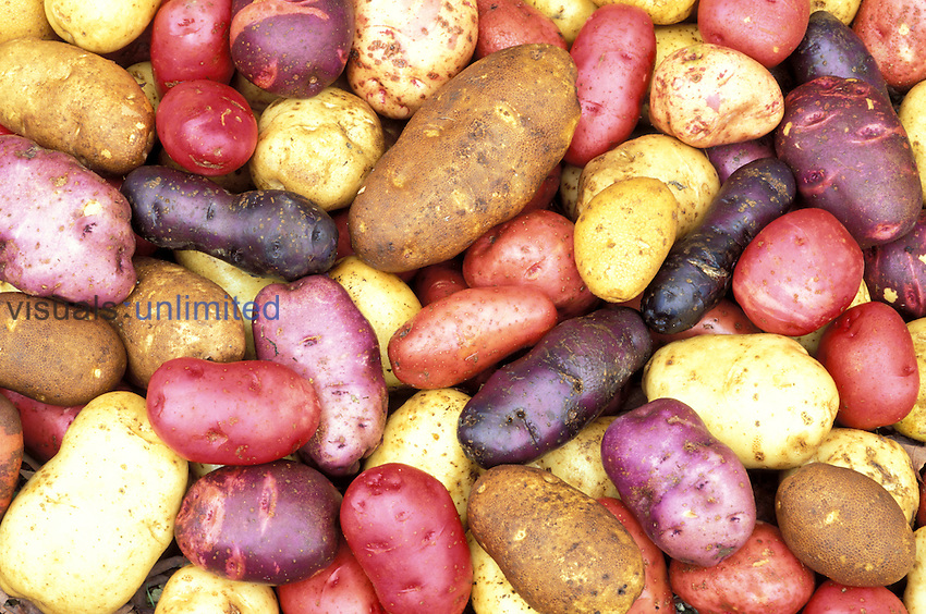 Colorful potato harvest, genetic diversity, variation