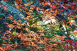 Japanese Maple in spring color, looking  up through Western Red Cedar.  Colorful foliage.