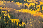 Autumn forest of quaking aspen (Populus tremuloides) and pines, Pike National Forest, Colorado