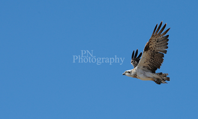 Day 25 baby osprey testing the wings while parents watch over the flight amazing to watch it in flight Kangaroo Island South Australia.