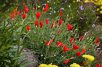 Red flower California poppy Eschscholzia californica 'Red Chief' in Kyte California native plant garden