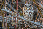 Canada, British Columbia, Boundary Bay, long-eared owl (Asio otus)