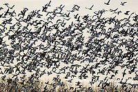 00754-02710. Snow Geese (Anser caerulescens) flying from wetland at sunrise Marion Co. IL