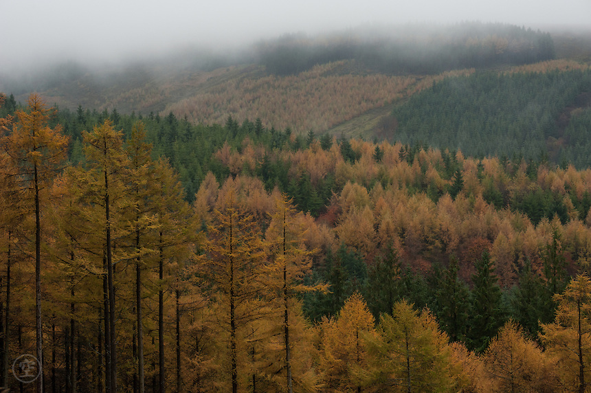 Pine and larch forest create a brocade of colours on a cloudy autumn day in the Slieve Bloom Mountains, Ireland.