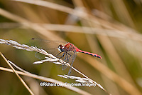 06660-001.14 White-faced Meadowhawk (Sympetrum obtrusum) male perched near wetland, Cook Co., IL