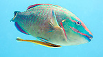 Sparisoma viride, Stoplight parrotfish, Roatan